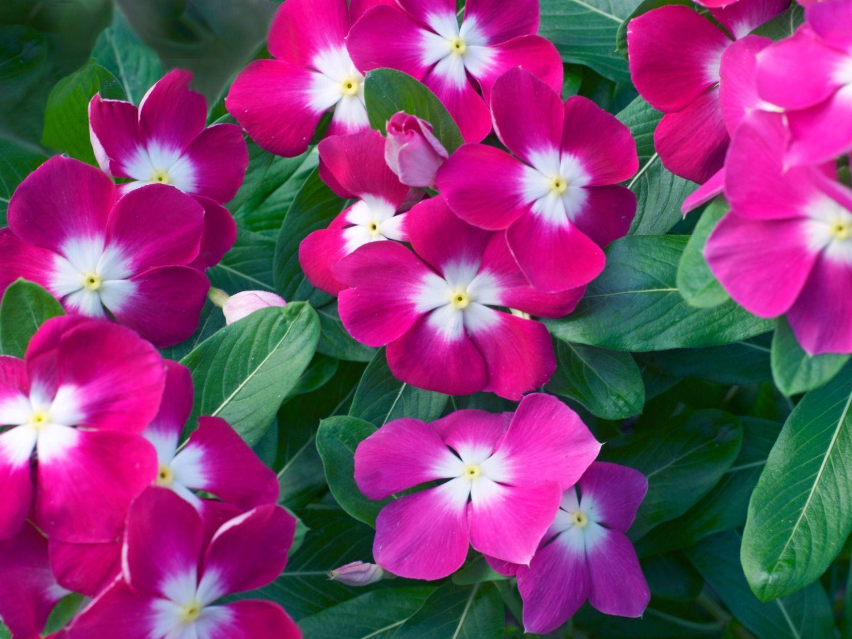 手入れ 日々草 日々草(ニチニチソウ) 育て方。立ち枯れる理由は?葉が丸まるのは病気?