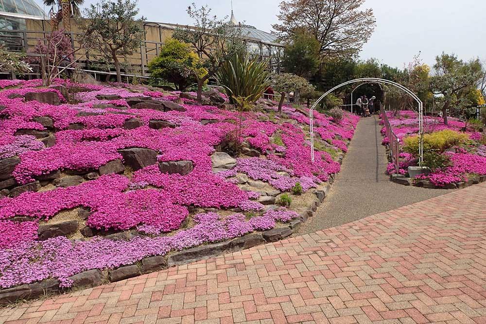 手柄山温室植物園 シバザクラ