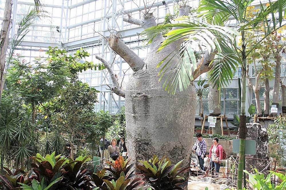 広島市植物公園 バオバブ