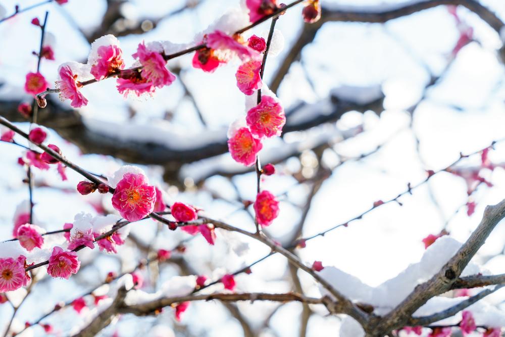 雪と梅の花