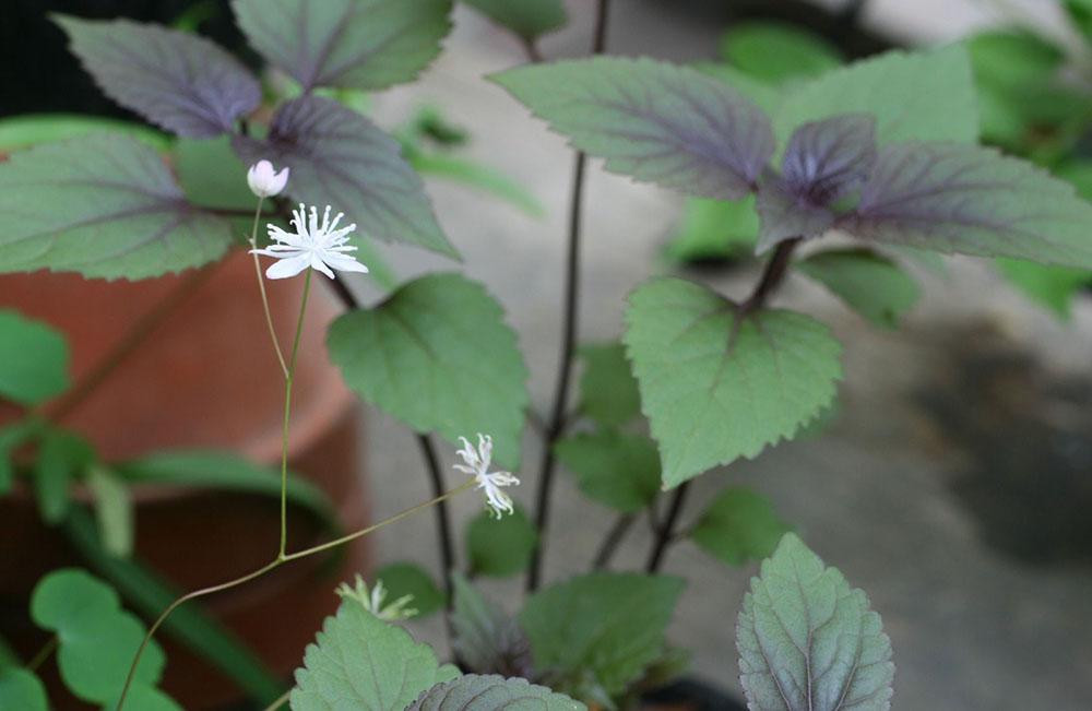 台湾梅花カラマツ