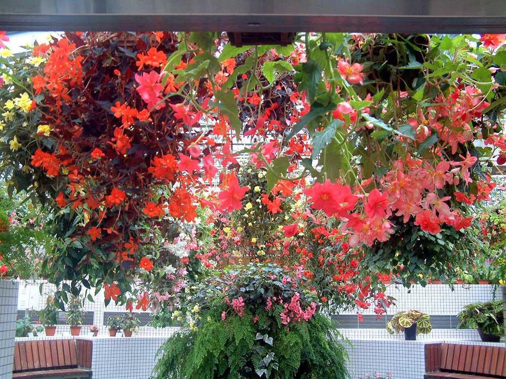 広島市植物公園 ベゴニア