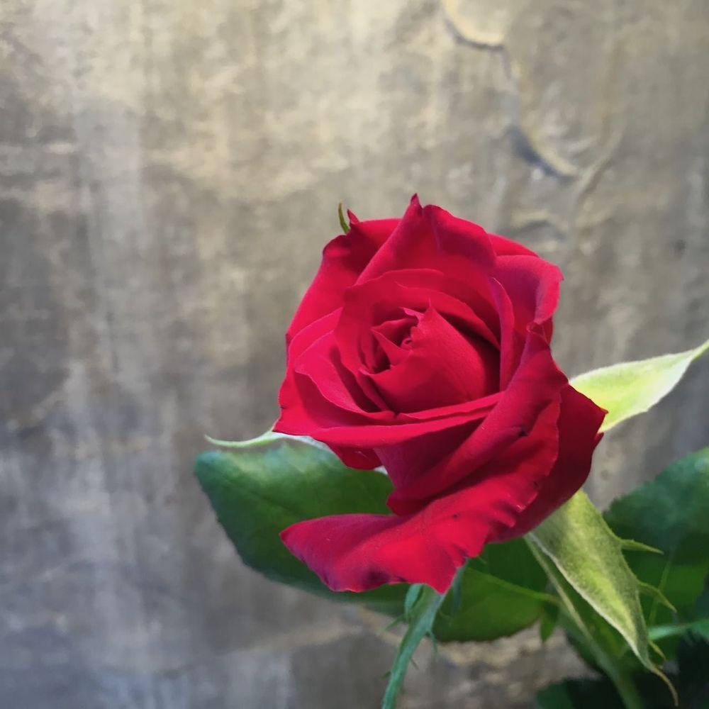 高芯剣弁咲きの赤いバラ