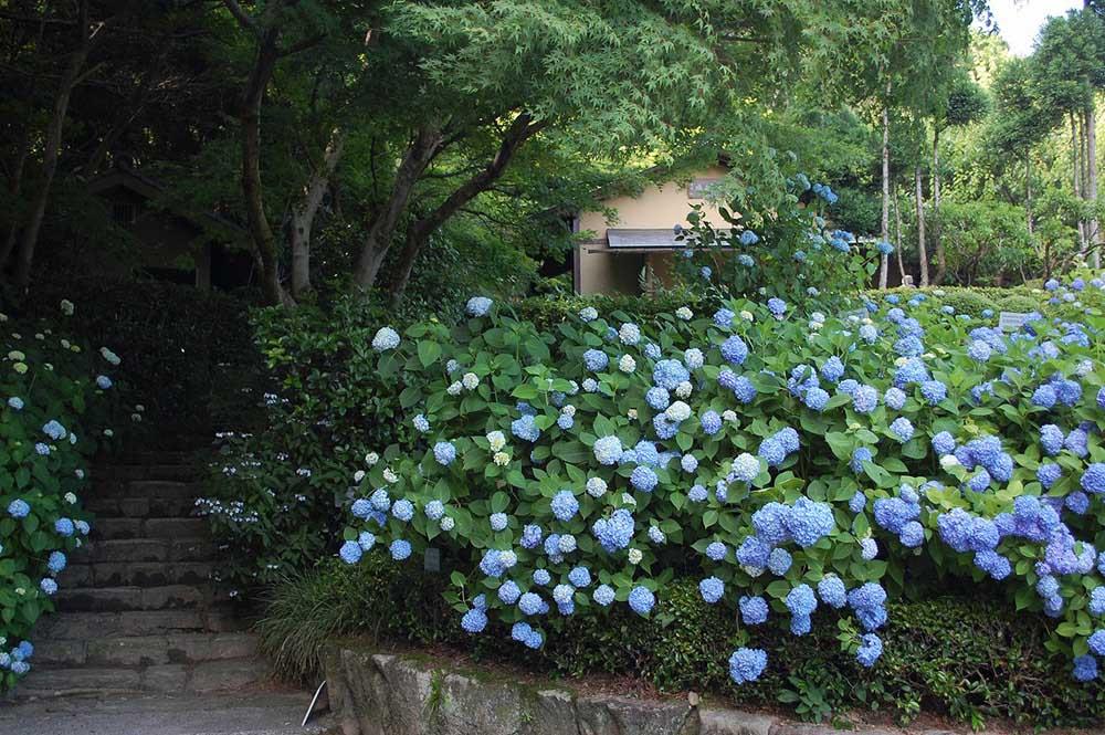 広島市植物公園 アジサイ