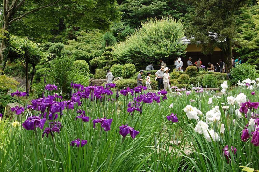 広島市植物公園 花菖蒲園