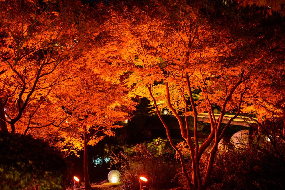 紅葉で赤く染まったカエデをライトアップ!
