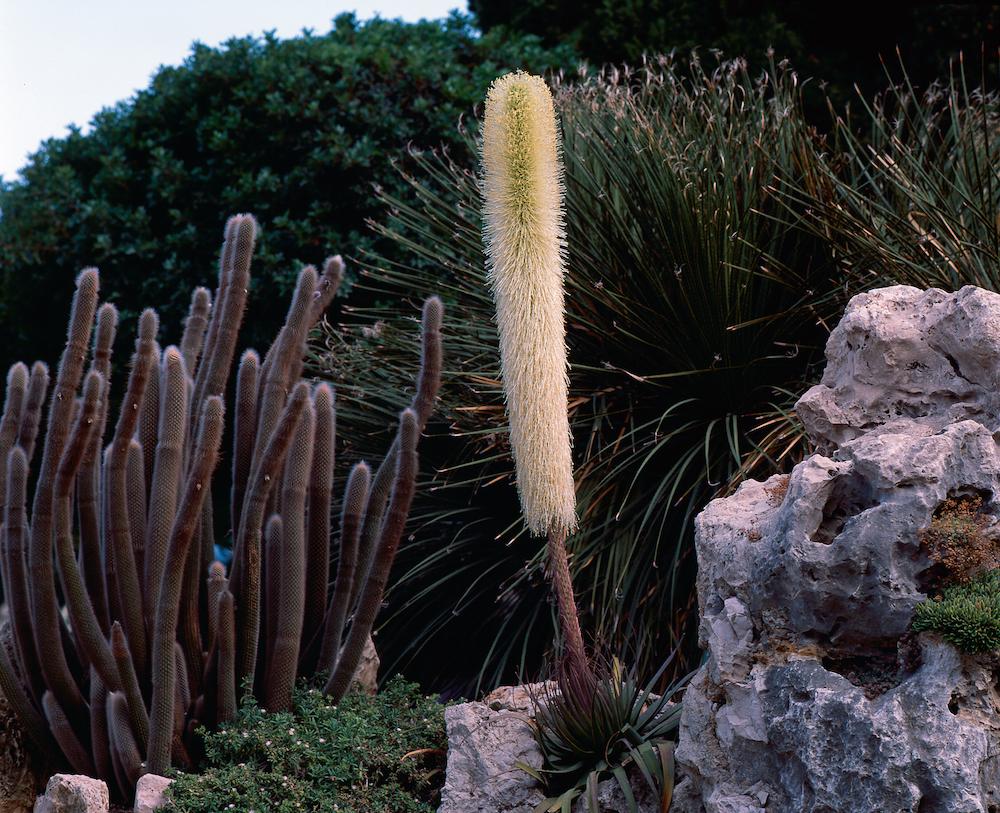アガベ・ブラクテオサの花