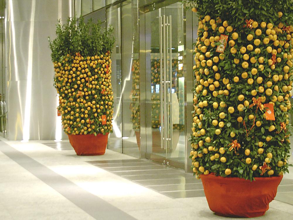 春節の飾りの金柑の鉢植え