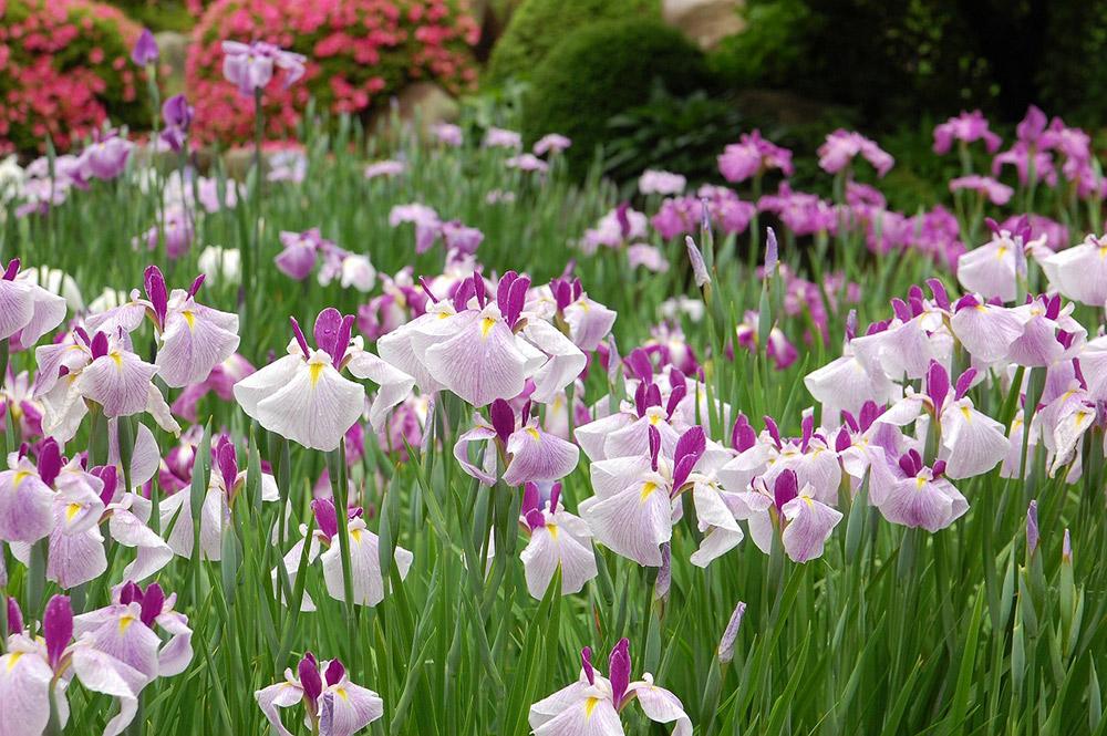 広島市植物公園 花菖蒲