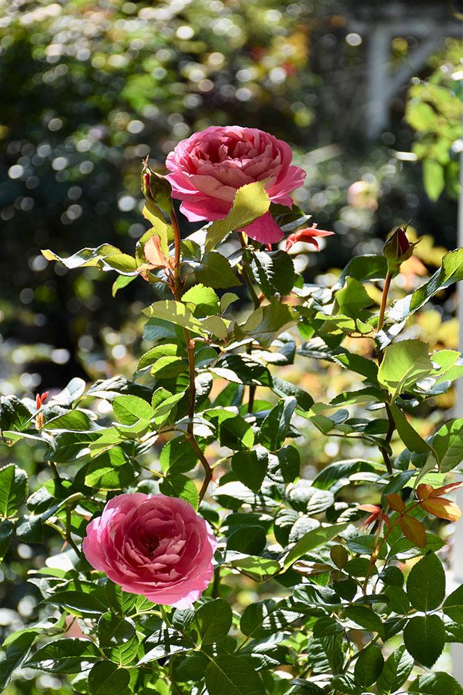 冬に植え替えるバラ