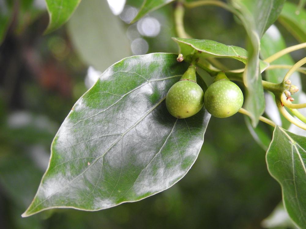 楠の葉と実