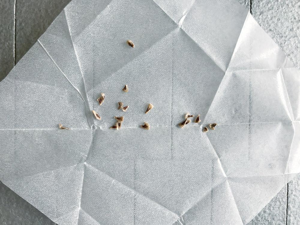 プヤ・ライモンディの種子