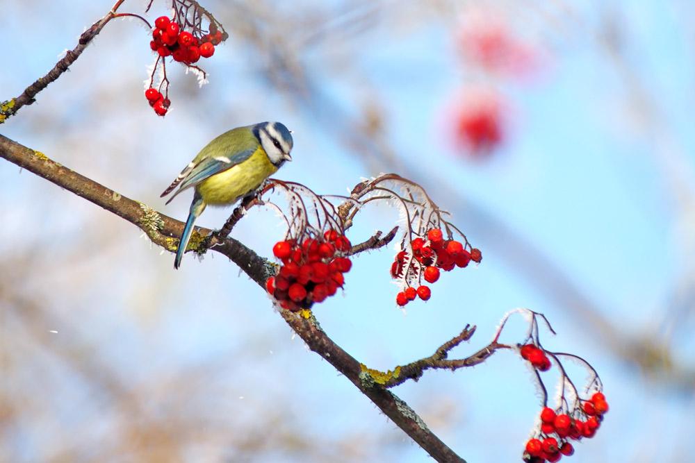 鳥は赤色を識別できる