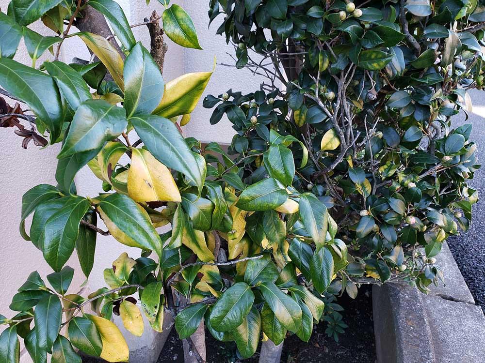 黄変した葉のツバキ