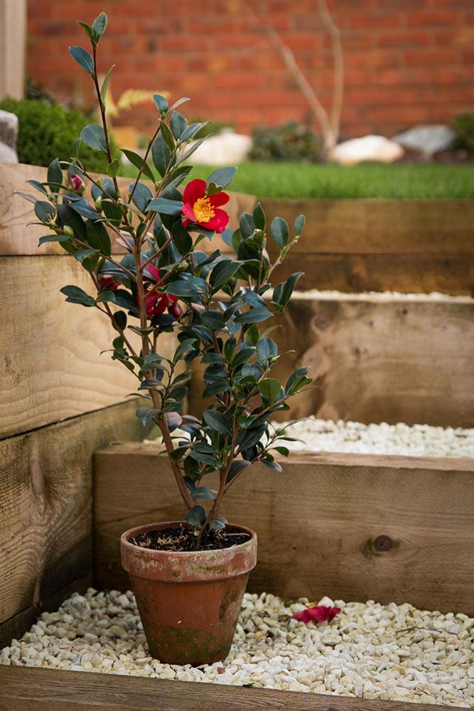 ツバキの鉢植え