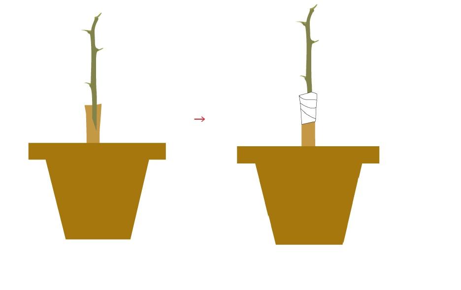 ユズの接ぎ木