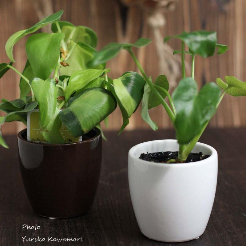 観葉植物のクワズイモとポトス