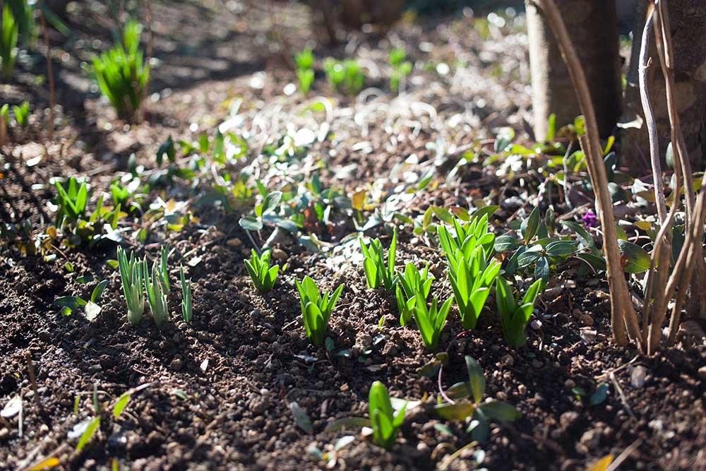 春咲き球根の芽吹き