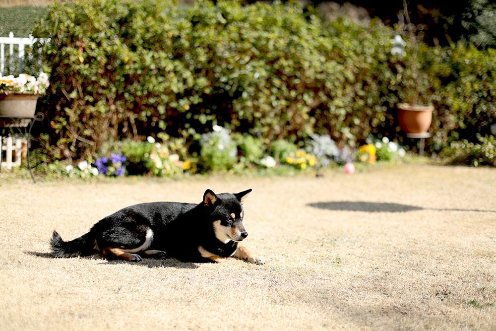 芝生の庭と愛犬