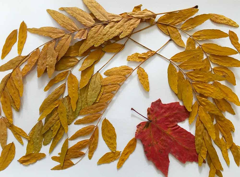 サイカチ類の黄葉