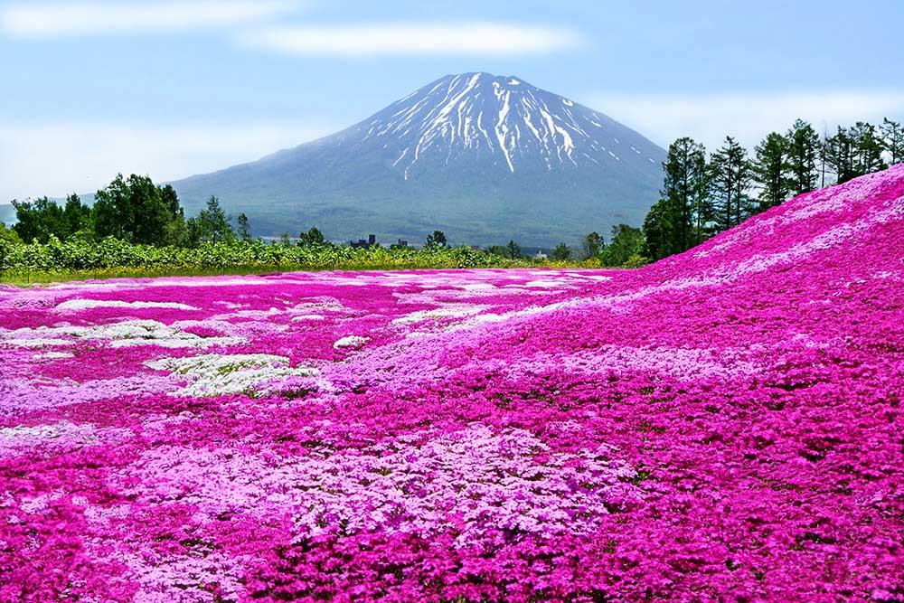 シバザクラと富士山