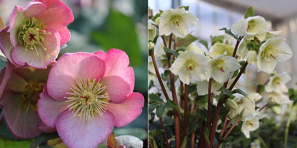 'ドロシーズ ドーン'と氷の薔薇 ホワイト