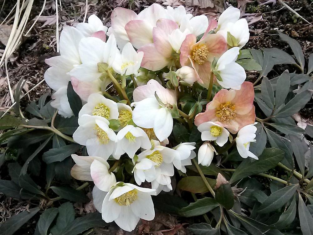 早咲きの原種、ニゲル