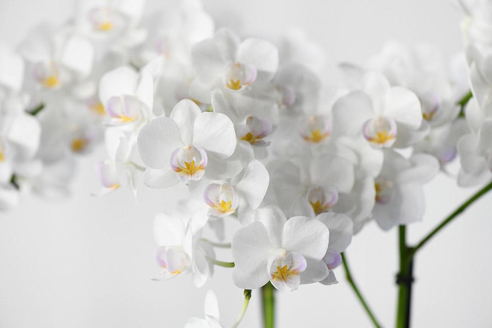 ファレノプシス(コチョウラン)'コユキ' Phalaenopsis(Kung's Amar Dott×Sheena's Bright Ruby)