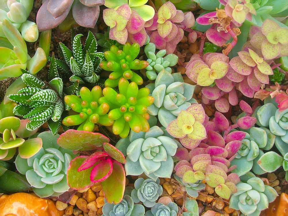 いろいろな色で楽しめる多肉植物の寄せ植え