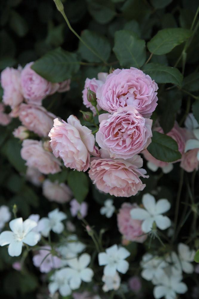 河合伸志さん作出のバラ「まほろば」