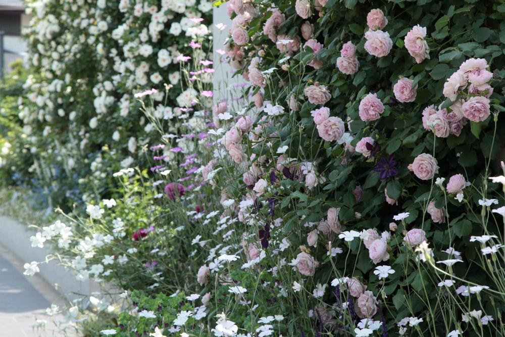 ピンクのバラは「まほろば」。白いアグロステンマと。