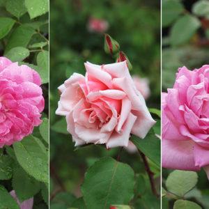 ヘンリー・ベネットのバラ