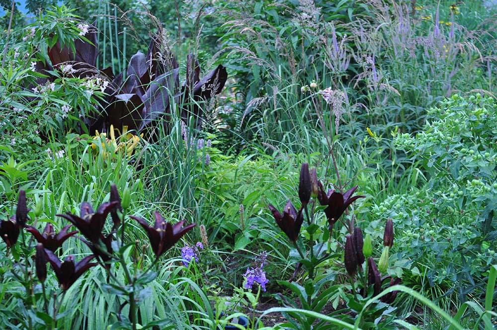 黒花のスカシユリ・リリウム 'ランディーニ'