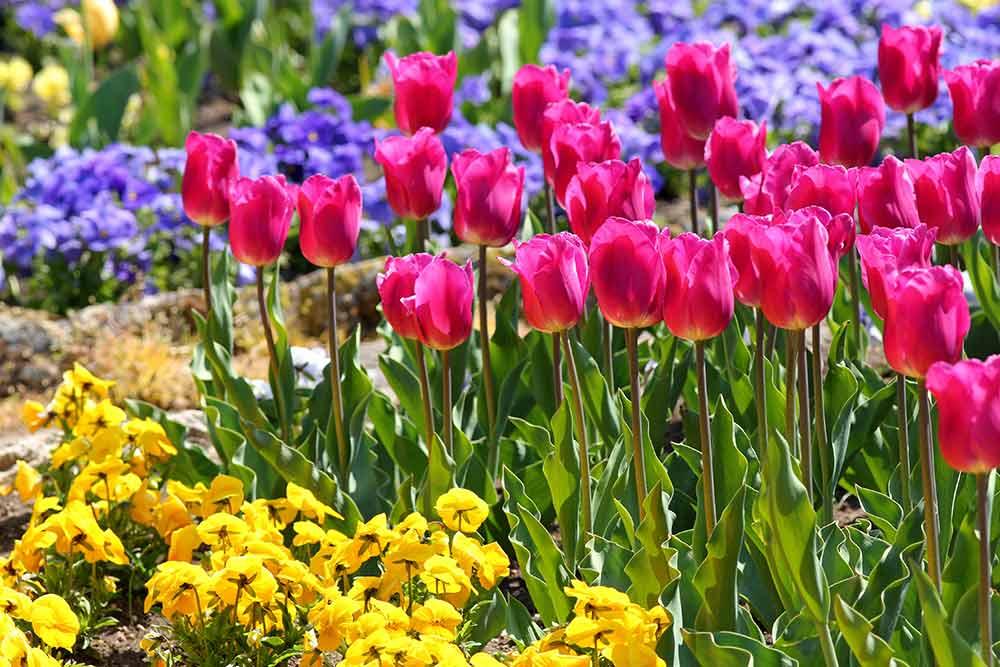 チューリップの手前にパンジーを植えて花を見せる