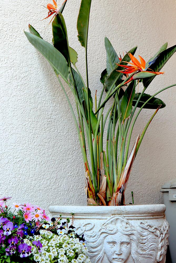 ストレリチアの鉢植え