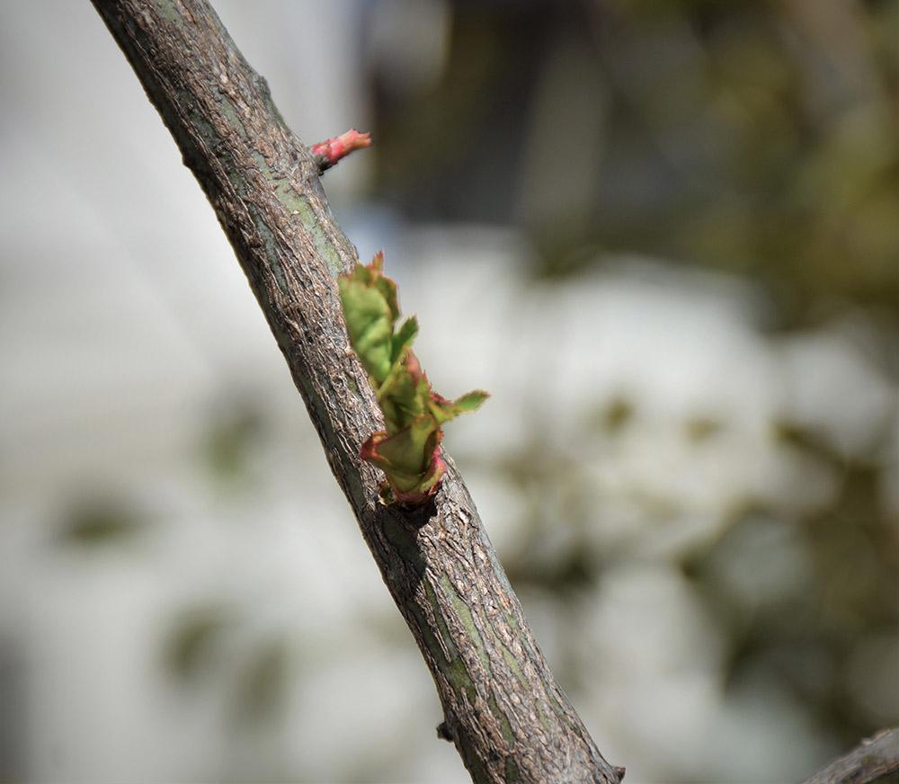 バラの芽かき