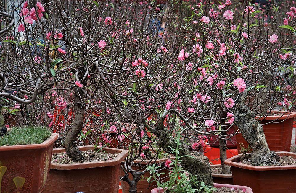 モモの盆栽