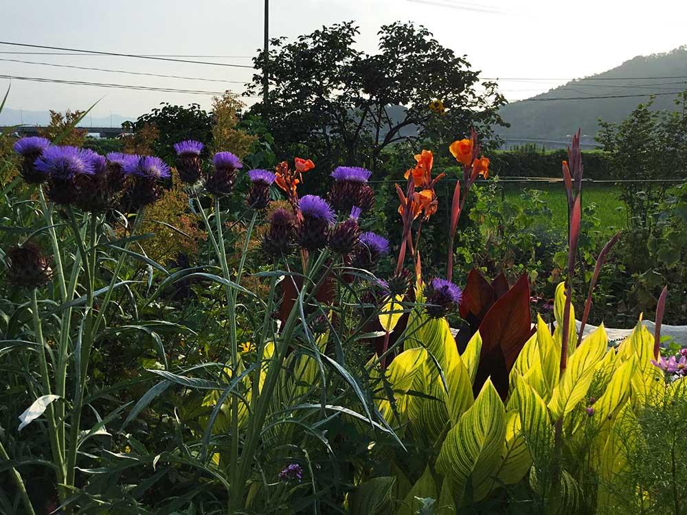 アザミ花とカンナ