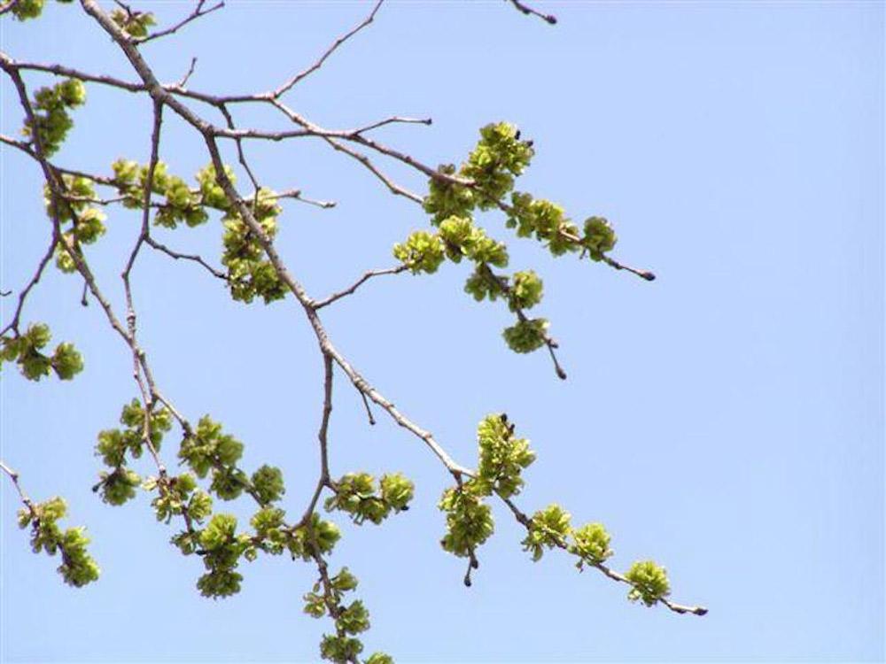 初夏には黄緑色の果実となる