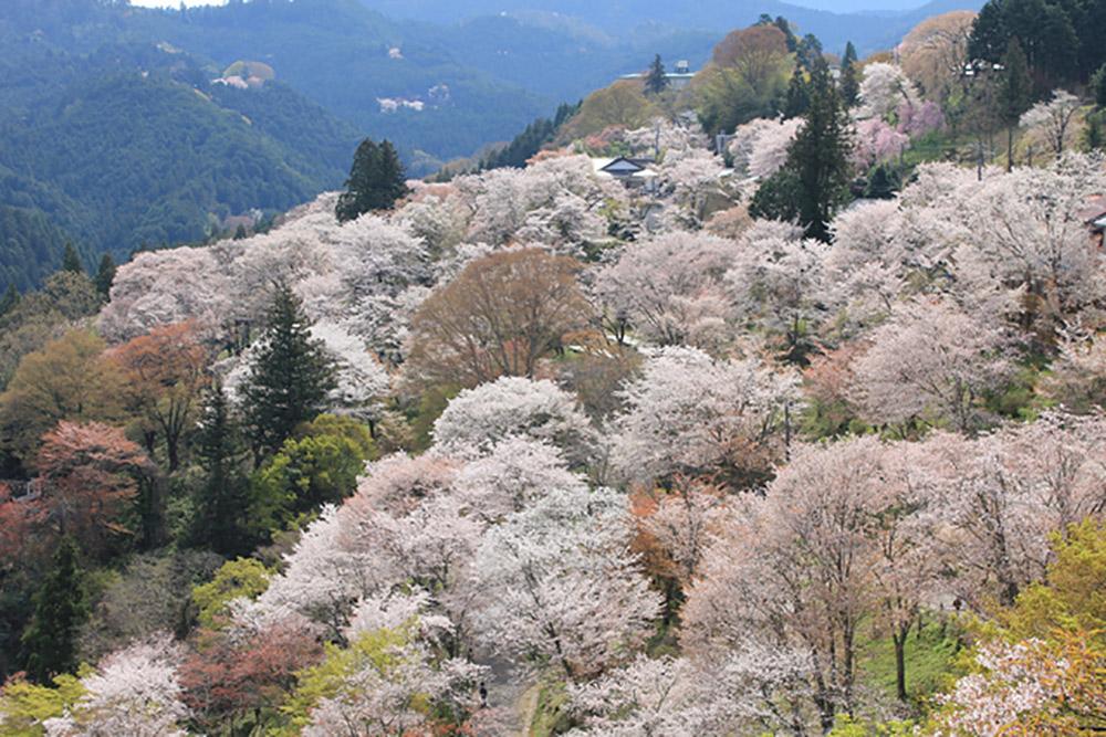吉野山のサクラ