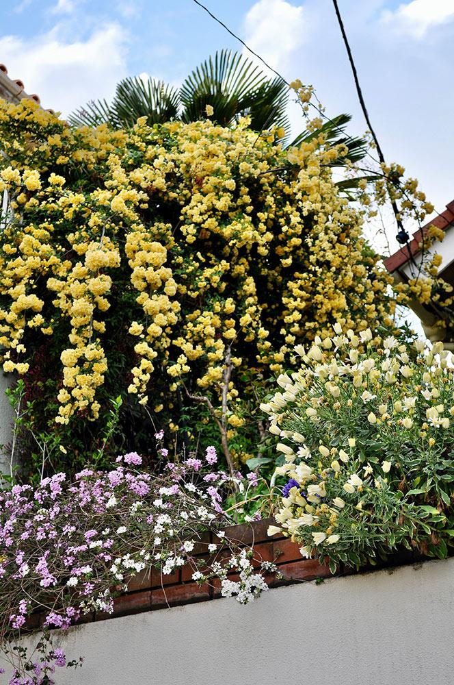 モッコウバラの咲く庭