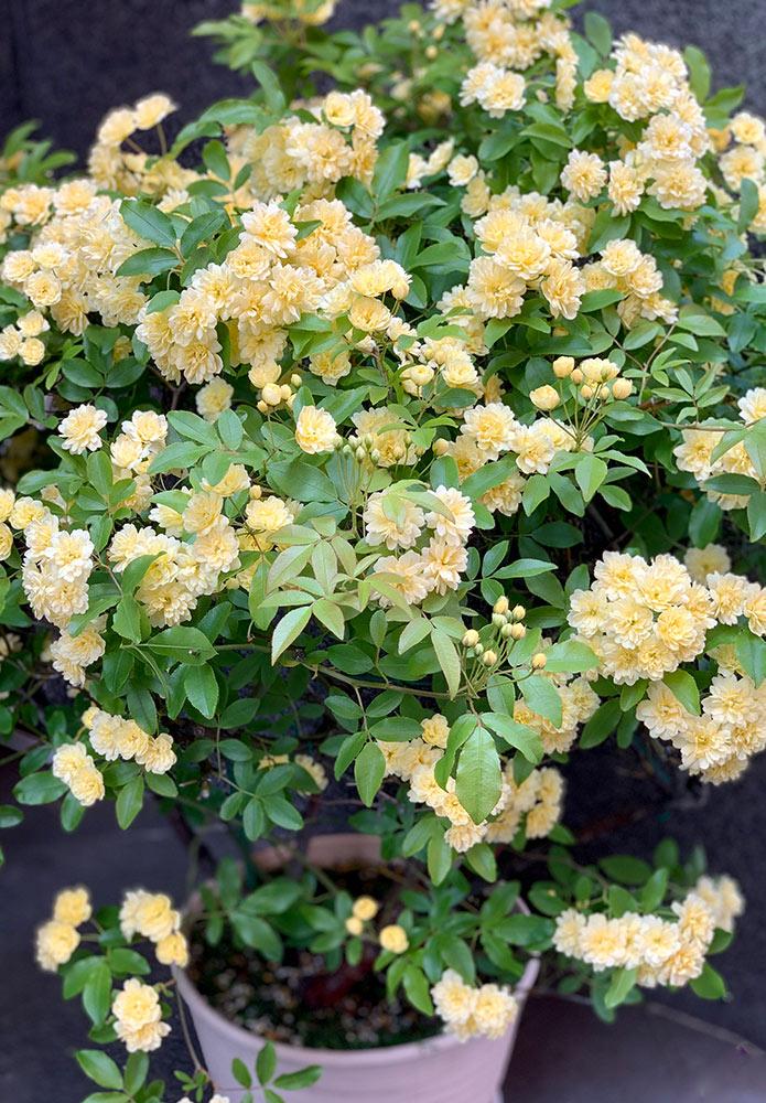 鉢植えのモッコウバラ