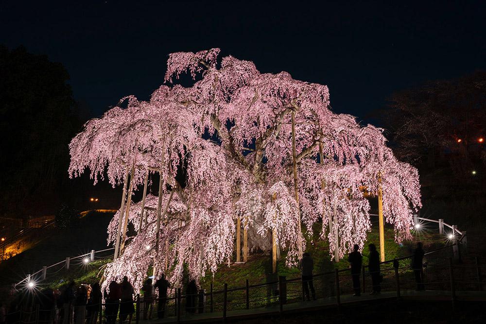 福島県郡山市三春町の「三春滝桜」