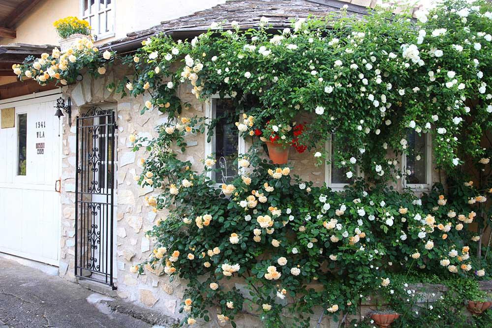 窓辺のバラ'サマースノー'と'バフビューティ'
