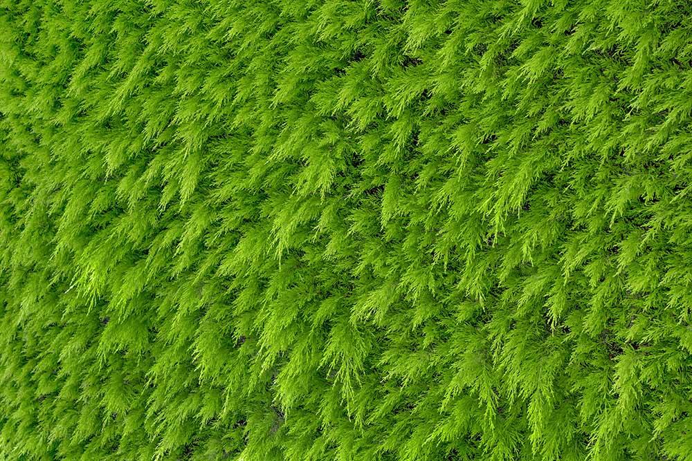 生け垣に向く樹木