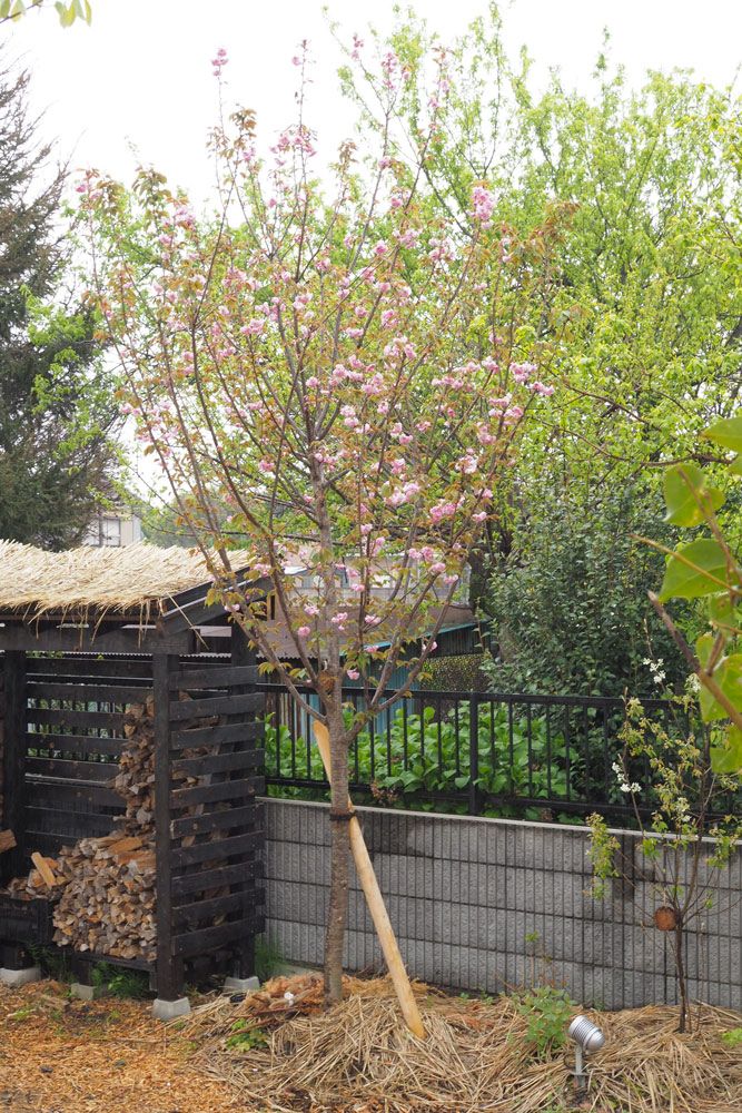 八重桜を育てよう!管理のコツは日当たりと剪定をしないこと