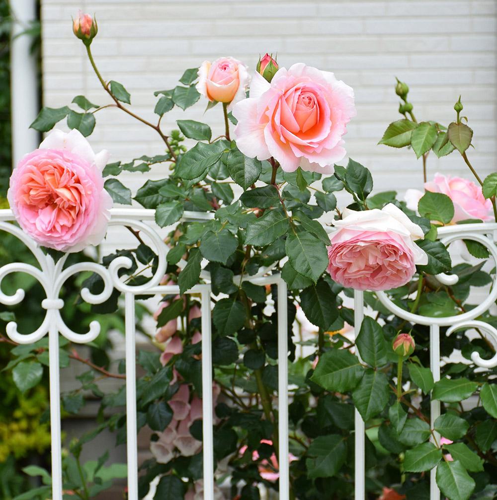 フェンスのバラ'アブラハム・ダービー'
