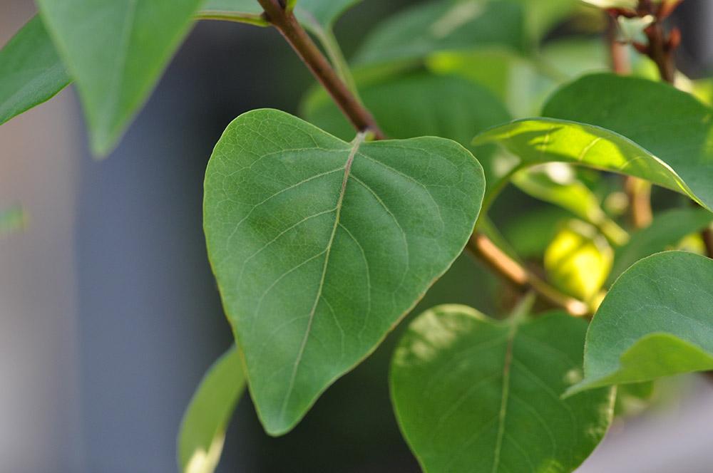 ライラックの葉