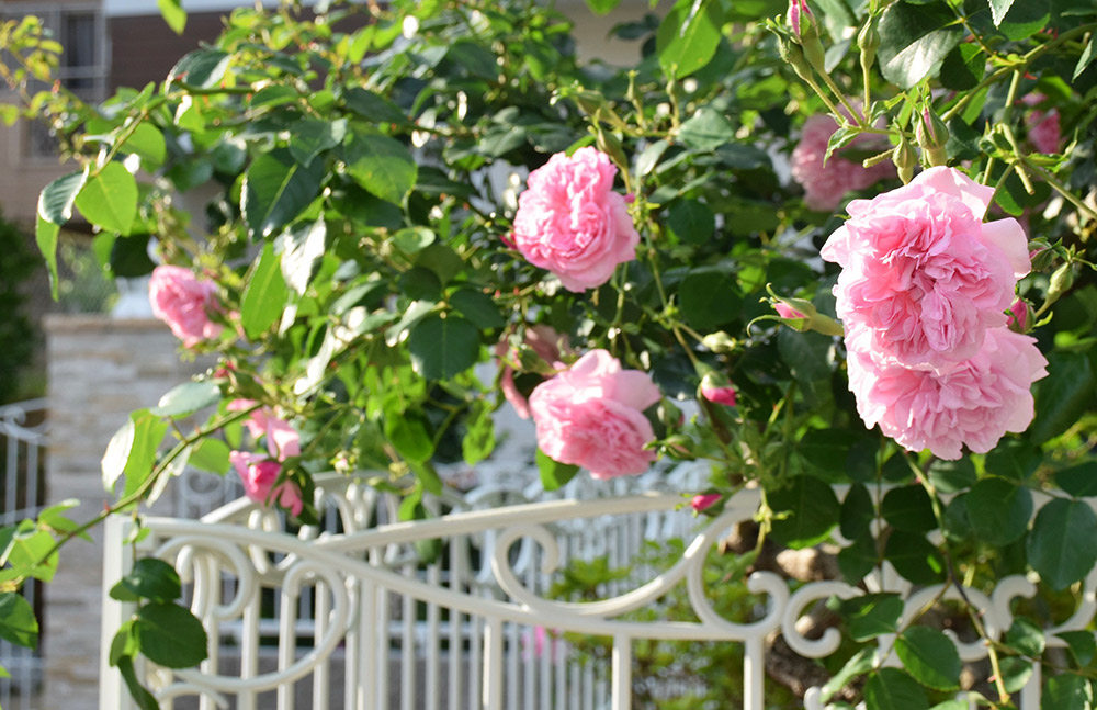 フェンスのバラ'メイ・クイーン'