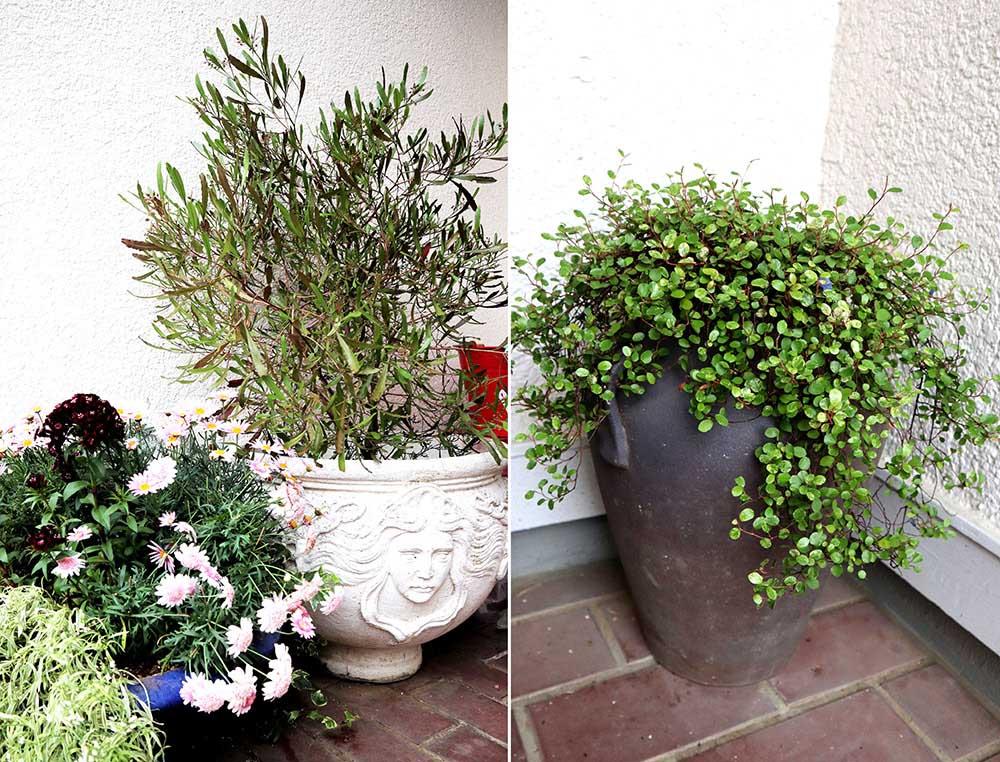 玄関のドドナエアとワイヤープランツ鉢植え